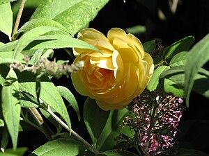 Yellow Graham Thomas Rose.jpg