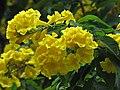 Yellow Trumpet 9429.jpg