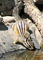 Yellow pine chipmunk 2 (7189942937).jpg