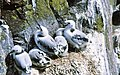 Young Kittiwakes on Inner Farne - geograph.org.uk - 877310.jpg
