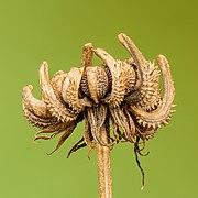 Zaaddoos van een goudsbloem (Calendula officinalis) 11-09-2020 (d.j.b.).jpg
