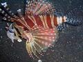 Zebra Lionfish (16 cm) 2.png