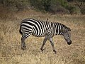 Zebras in Tanzania 0911 Nevit.jpg
