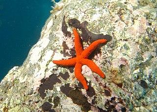 Echinasteridae Family of starfishes