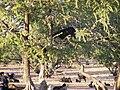 Ziege im Agranbaum.jpg