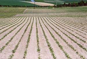 Sugar beet - A sugar beet farm in Switzerland