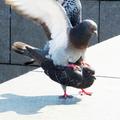 Zwei Tauben bei der Paarung 2013-06-07.PNG