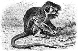 Talapoin Genus of Old World monkeys