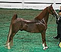 """Breaking News"" during the Five Gaited Stake class (3008085680).jpg"