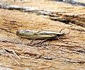 (1306) Agriphila inquinatella (20025673751).jpg