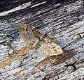 (1862) Double-striped Pug (Gymnoscelis rufifasciata) - Flickr - Bennyboymothman.jpg