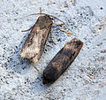 (2091) Dark Sword-grass (Agrotis ipsilon) (19735355800).jpg
