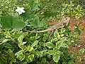 (Calotes versicolor) Garden Lizard spotted at Gandhinagar park in Kakinada 01.jpg