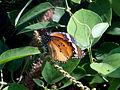 (Danaus chrysippus) plain tiger at Tenneti park 01.JPG