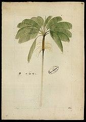(Euterpe oleracea, Mart)