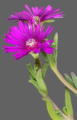 (MHNT) Delosperma cooperi - Flower and leaves.jpg