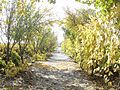 Üzüm ağacı sonbaharda - panoramio.jpg