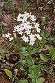 Ɣlilu - Centaurium erythraea.jpg