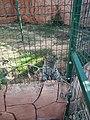 Αττικό πάρκο λεοπάρδαλη της Περσίας .jpg