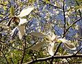 Весна у Стрийському парку. Квіти магнолії.jpg