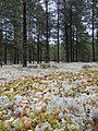 Желтые листья на белом ковре - panoramio.jpg