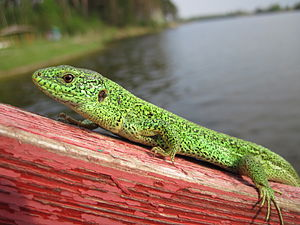 Ukraine, green lizard