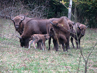European bison - Adult females with calves