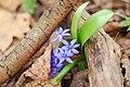 Проліска дволиста (Scilla bifolia L.) у заплавному лісі біля с. Гурбинці.jpg