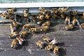 Пчёлы на работе (242879556).jpg