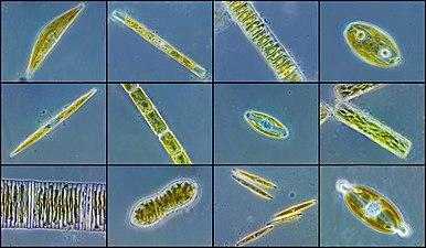 Разнообразие форм диатомовых водорослей.jpg