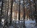 Солнце и сосны - panoramio.jpg