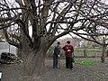 Старовинна груша на Карнаватці 27.jpg
