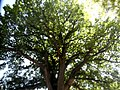 Столітній дуб у м.Сімферополь.JPG