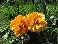 Тюльпани в парку Аскольдова могила.jpg