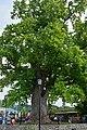 Тюльпановое дерево.jpg