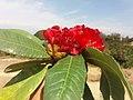 लाली गुराँस फूल Rododrendron 06.jpg
