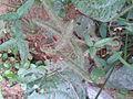 காட்டுளுந்து 2(Vigna vexillata).jpg