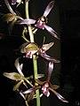 報歲真善美 Cymbidium sinense 'True-Good-Beautiful' -香港沙田國蘭展 Shatin Orchid Show, Hong Kong- (12247701345).jpg