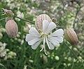 白玉草(狗筋麥瓶草) Silene vulgaris -比利時 Ghent University Botanical Garden, Belgium- (9240149204).jpg