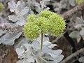 絨毛蓼屬 Eriogonum crocatum -牛津大學植物園 Oxford Botanic Garden- (9219877281).jpg