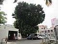 臺南新樓醫院旁的大榕樹 - panoramio.jpg