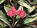 花葉虎刺梅(花葉鐵海棠) Euphorbia milii variegata -香港北區花鳥蟲魚展 North District Flower Show, Hong Kong- (9207629598).jpg