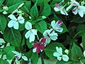 迷你非洲鳳仙花 Impatiens walleriana Mini Hawaiian Series -香港北區花鳥蟲魚展 North District Flower Show, Hong Kong- (9255244020).jpg