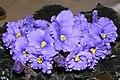 非洲紫羅蘭 Saintpaulia Wand Land -香港沙田紫羅蘭展 Shatin African Violet Show, Hong Kong- (9200964722).jpg