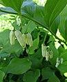 黃精屬 Polygonatum latifolium -維也納大學植物園 Vienna University Botanical Garden- (27899794744).jpg