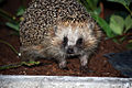 -119 Hedgehog.jpg