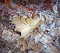 -1915- September Thorn (Ennomos erosaria) (43060314720).jpg