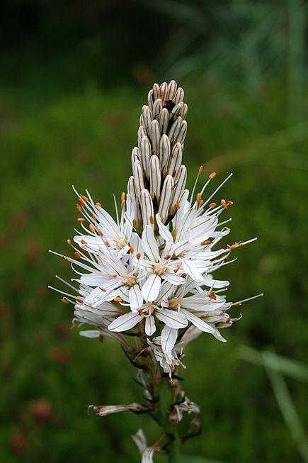 Liste des plantes aux Introuvables ( Mr Carrier )  435px-0_Asphodelus_albus_-_Samo%C3%ABns_%283%29