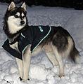 1-30-08-AlaskanKleeKai-Kukai.jpg