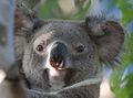 116 Koala HZP 14 February 2015 comp.jpg